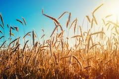 与蓝天和太阳,软的焦点的金黄黑麦领域 库存图片