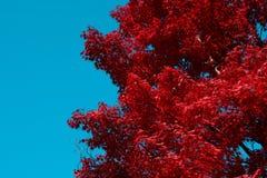 与蓝天拷贝空间的红色鸡爪枫树秋天背景在左边 免版税库存图片