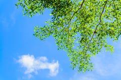 与蓝天的一个结构树 免版税图库摄影