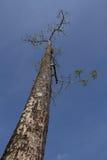 与蓝天的一棵高树 免版税图库摄影