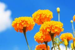 与蓝天的万寿菊 JPG 库存照片