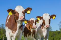与蓝天的三头棕色白色小牛 库存照片