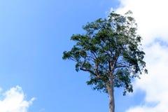 与蓝天的单独结构树 免版税库存照片