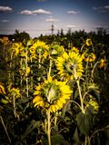 与蓝天的向日葵领域 免版税库存图片
