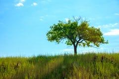 与蓝天的孤立树 免版税库存图片
