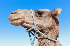 与蓝天的孤立骆驼 免版税图库摄影