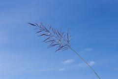 与蓝天的开花的草 免版税库存照片