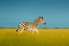 与蓝天的斑马 Burchell ` s斑马,马属拟斑马burchellii,恩克塞盐沼国家公园,博茨瓦纳,非洲 在蜂蜜酒的野生动物 库存照片