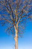 与蓝天的最基本的树在背景中 免版税库存图片
