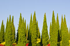 与蓝天的杉树 库存图片