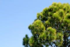 与蓝天的杉树 免版税库存照片