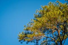 与蓝天的杉树 免版税图库摄影