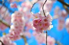 与蓝天的桃红色花 库存图片