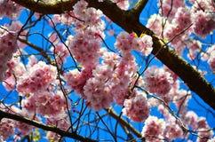 与蓝天的桃红色花 免版税库存图片