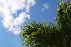 与蓝天的棕榈早午餐 库存照片