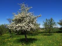 与蓝天的洋梨树在果树园 库存图片