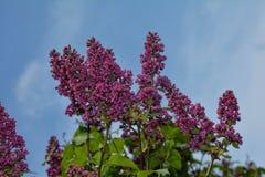与蓝天的淡紫色分支 库存照片