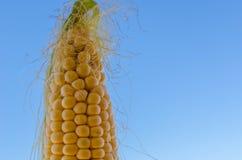 与蓝天的玉米棒子细节 库存图片