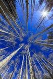 与蓝天的白杨木 图库摄影