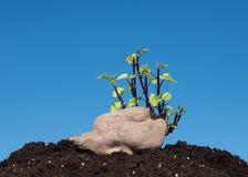 与蓝天的白薯萌芽作为背景 免版税库存图片