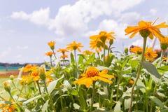 与蓝天的百日菊属花背景的 库存图片