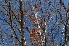 与蓝天的秋天赤裸白杨木树 图库摄影