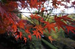 与蓝天的红色Momiji在Grampians国家公园,秋天澳大利亚 库存照片
