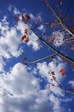 与蓝天的红色Momiji在Grampians国家公园,秋天澳大利亚 库存图片