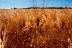 与蓝天的金黄麦田 免版税库存图片