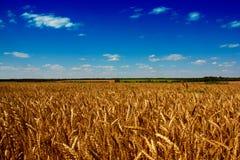 与蓝天的金黄麦田 免版税图库摄影