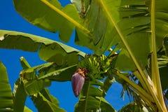 与蓝天的香蕉树 免版税库存照片