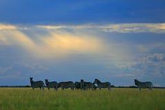 与蓝天,轻的太阳光芒的斑马,平衡日落 Burchell ` s斑马,恩克塞盐沼国家公园,博茨瓦纳,非洲 在Th的野生动物 免版税库存图片