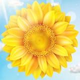 与蓝天-秋天的向日葵 10 eps 图库摄影