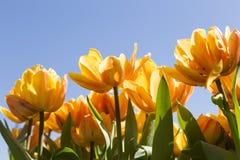 与蓝天landscape_IMG_9478的黄色郁金香 免版税库存照片