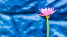 与蓝宝石墙壁的紫色莲花 免版税库存照片