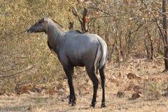 与蓝牛羚的大羚羊的遭遇 库存照片