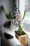 与蓝眼睛和精美春天风信花的白色猫在窗口基石的一个木箱开花 桃红色,蓝色颜色 免版税库存照片