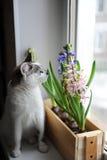 与蓝眼睛和精美春天风信花的白色猫在窗口基石的一个木箱开花 桃红色,蓝色颜色 免版税图库摄影