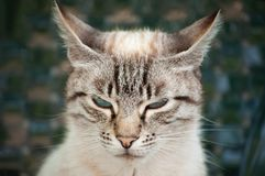 与蓝眼睛和镶边毛皮的可爱的恼怒的猫 免版税库存图片