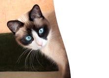 与蓝眼睛品种雪靴的俏丽的猫 免版税库存图片