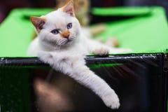 与蓝眼睛枪口的白色安哥拉猫猫 在被弄脏的背景的小猫 defocused 库存照片