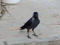 与蓝眼睛特写镜头的乌鸦 库存图片