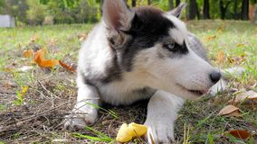 与蓝眼睛特写镜头的多壳的狗在有黄色叶子的草甸说谎并且吃果子户外 股票视频