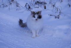 与蓝眼睛的一只异常的三色猫 库存图片