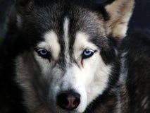 与蓝眼睛的一条西伯利亚爱斯基摩人狗 免版税库存照片