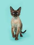 与蓝眼睛的俏丽的封印点德文郡rex猫走到在一薄荷的蓝色backgroun的照相机的 库存图片