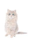 与蓝眼睛的可爱的白色平纹小猫 库存图片