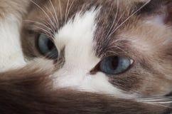 与蓝眼睛的困猫 库存照片