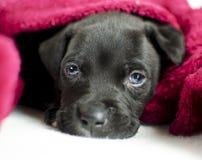 与蓝眼睛的困黑小狗在床罩下,乔治亚美国 库存照片