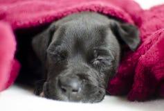 与蓝眼睛的困黑小狗在床罩下,乔治亚美国 图库摄影